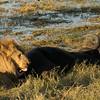 Lion with a buffalo prey