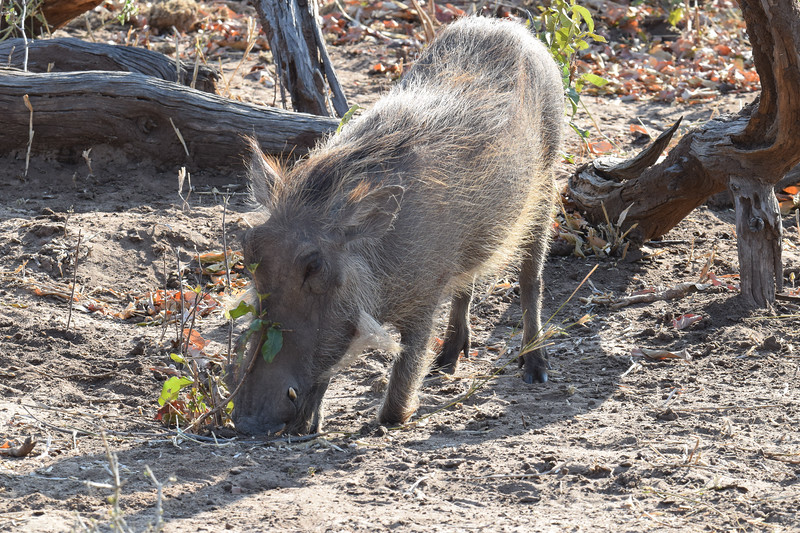 Warthog digging for food