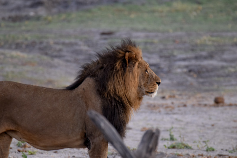 Lion at dawn in Chobe National Park
