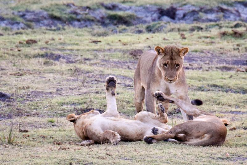 Lion kittens at school