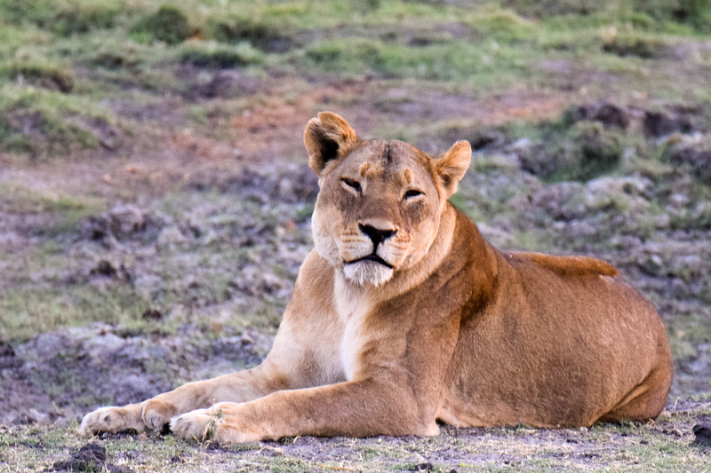 Female lion at dawn in Chobe National Park