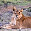 Female lion at dawn in Chobe National Park