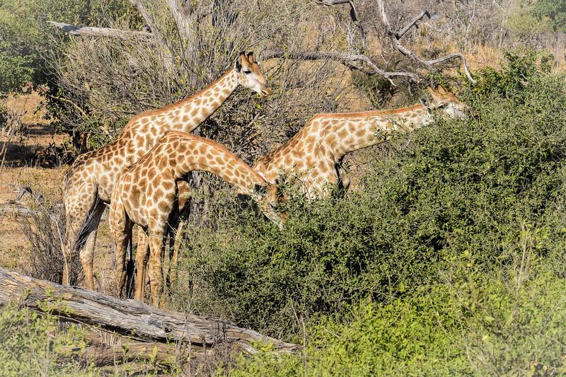 Grazing giraffe family