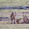 Lion cubs playing by Chobe river
