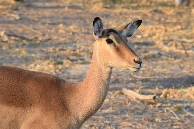 Impala in Chobe