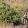 Double neck giraffe