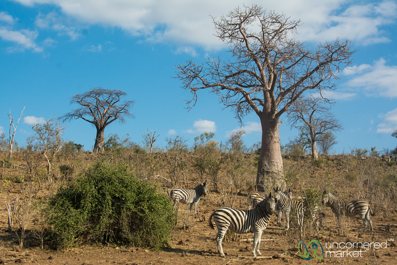 Zebras Graze Under the Baobab Tree - Chobe National Park, Botswana