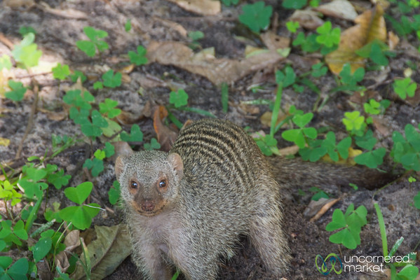 Banded Mongoose - Chobe National Park, Botswana