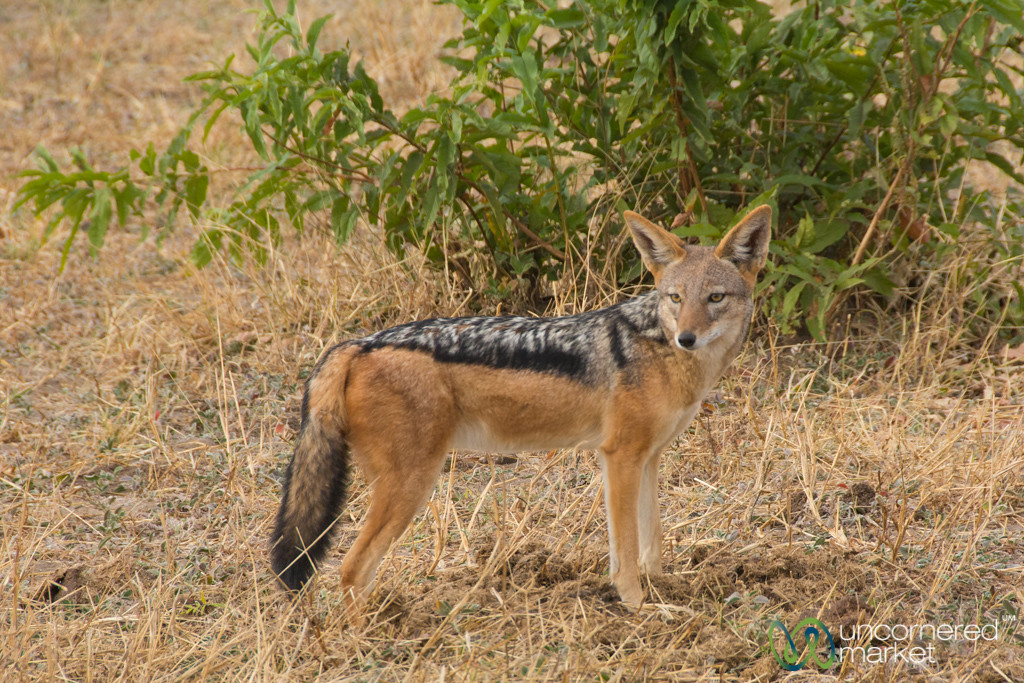 Black-Backed Jackal - Chobe, Botswana