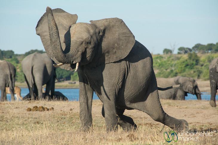 Elephant Games - Chobe River, Botswana