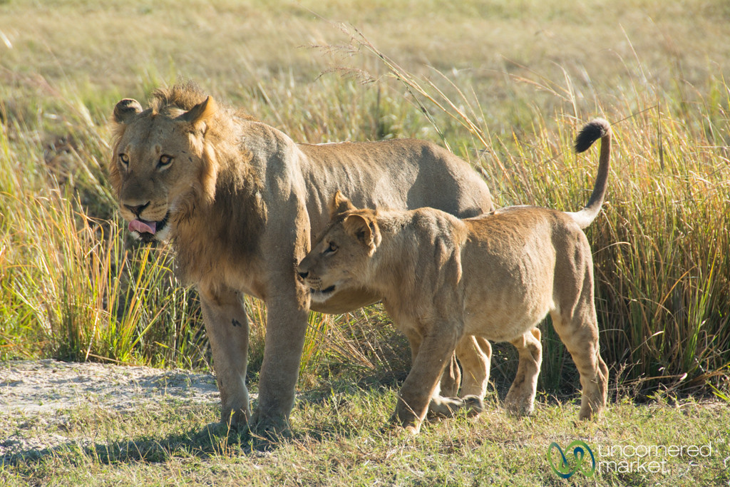 Adolescent Male Lion and Cub - Chobe National Park, Botswana