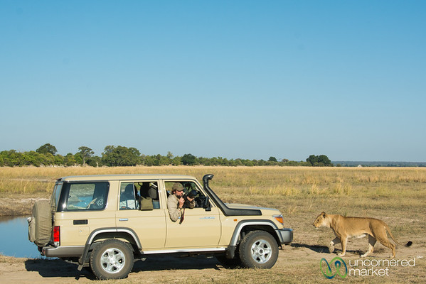 Face-Off with a Lion - Chobe National Park, Botswana