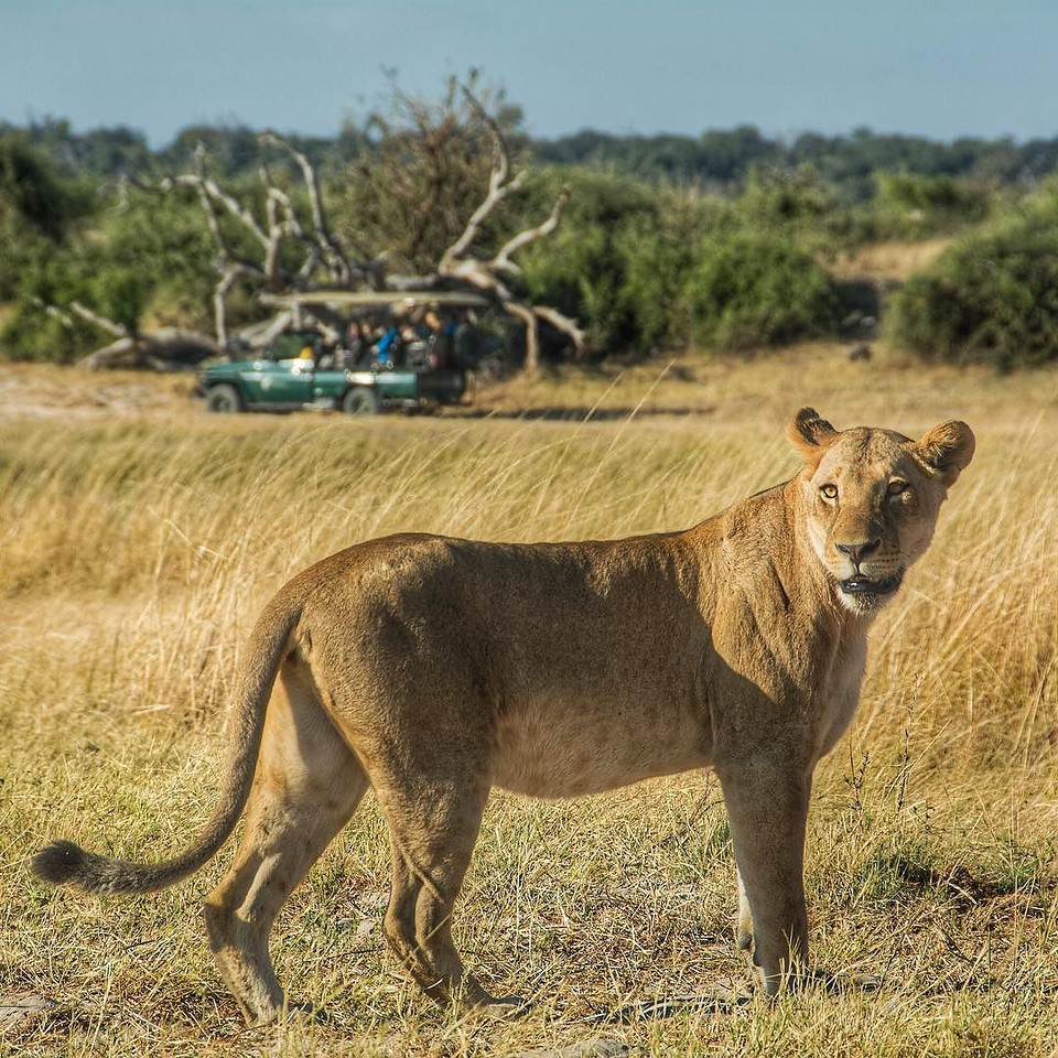 One frame (of many) from our 17-lion morning game drive in Chobe National Park, Botswana. The morning drive, already magnificent, was about to end when an opportunity to track a pride of 12 lions (earlier, we'd followed a lioness and her 4 cubs) emerged. Lynn, one of the team of @chobegamelodge all-female guides, has been remarkable and easy-going, particularly as she navigates a whisper quiet fully-electric game drive land cruiser. By the way, you have a chance to win this trip flights by joining us today (Thursday) on the #ThisIsChobe Twitter chat (12:00/19:00 Botswana/Central Europe) or 1:00PM EDT. Alternatively, visit the @ThisIsChobe FB page and post an entry there by 2:00PM EDT. via Instagram http://ift.tt/1tjAg54