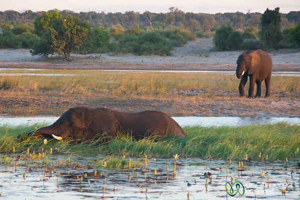 Elephants Bathing and Eating in the Chobe River - Botswana