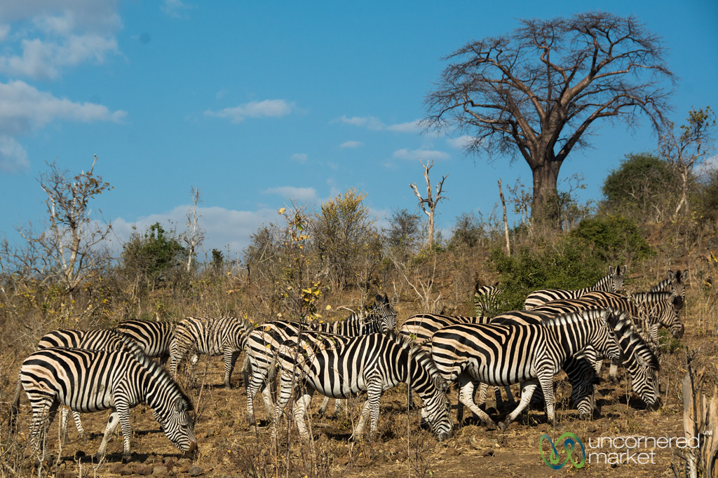 Zebras Under the Baobab Tree