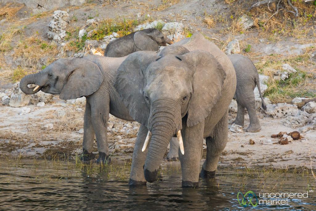 Drinking Time on the Chobe River - Chobe, Botswana