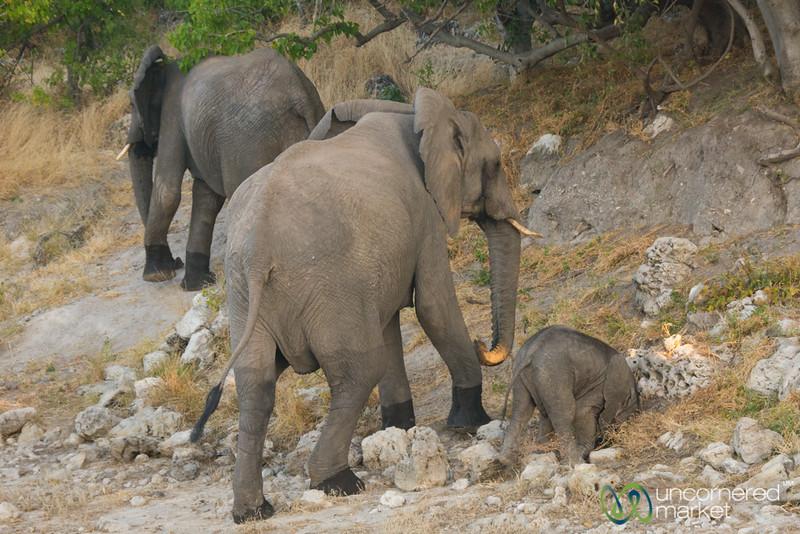 Clumsy Baby Elephant - Chobe River, Botswana