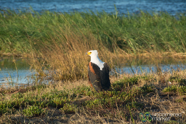 Fish Eagle Along the Chobe River - Chobe, Botswana