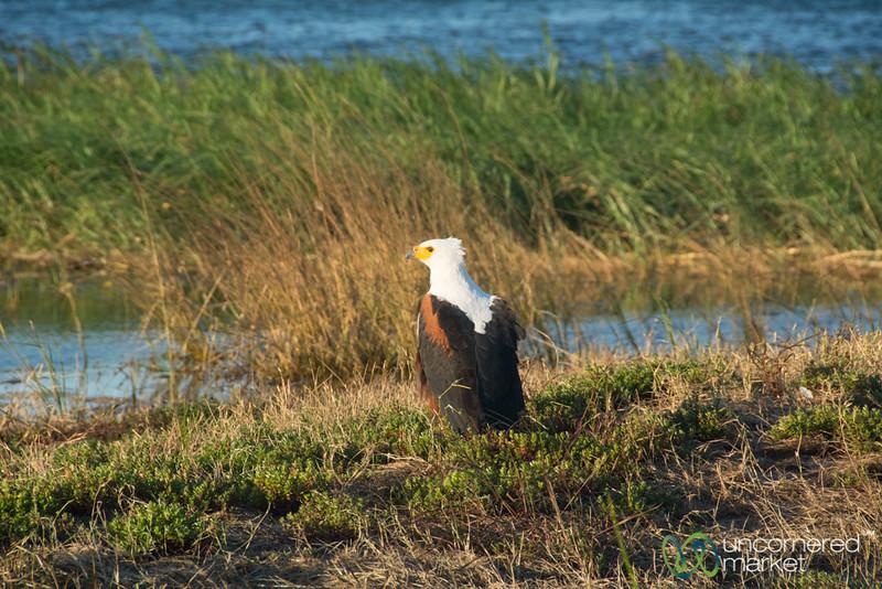 Fish Eagle Along the Chobe River - Chobe, Botswana