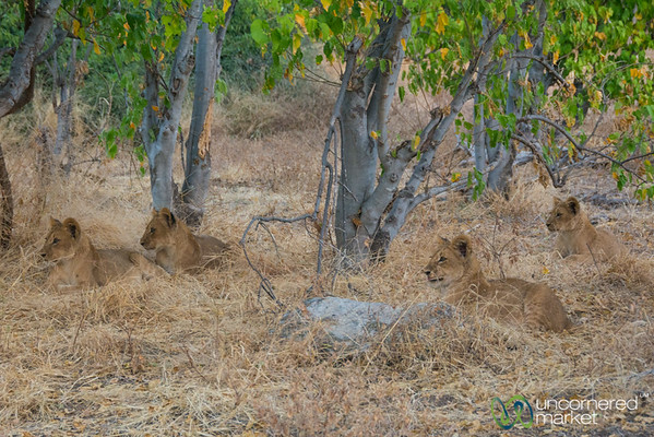 Lion Cubs Waiting for Mother - Chobe National Park, Botswana