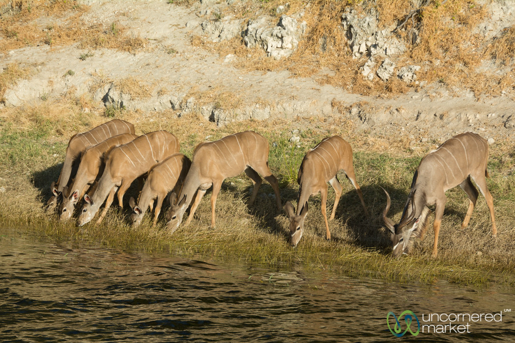 Kudu on the Chobe River for a Drink - Botswana