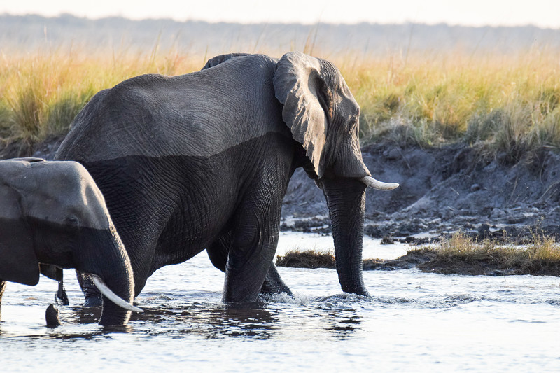 Elephants leaving Chobe river