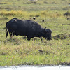 Buffalo in Chobe
