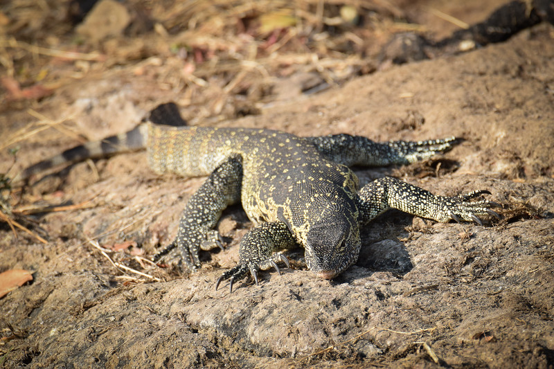 Monitor lizard getting some late sun on the bank of Chobe river on Botswana's side