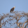 African Fish Eagle overlooking the Chobe river