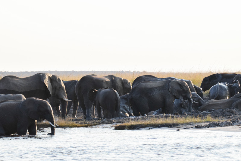 Elephants on Sedudu Island