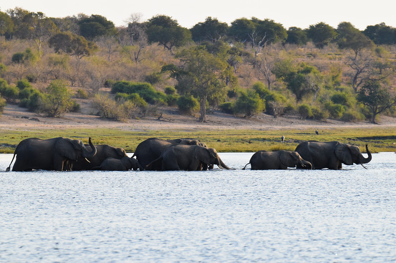 Herd of elephants crossing the Chobe River.