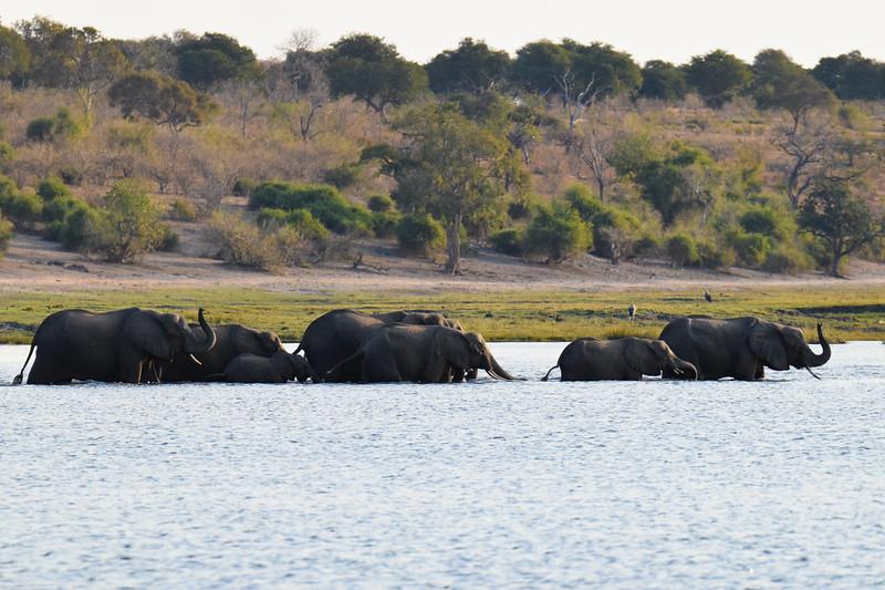 Herd of elephants crossing the Chobe River.