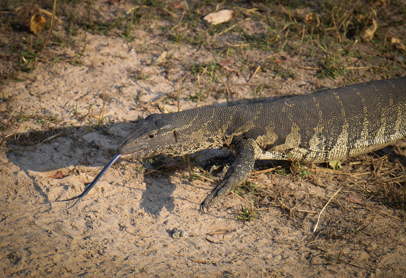 Monitor lizard in action