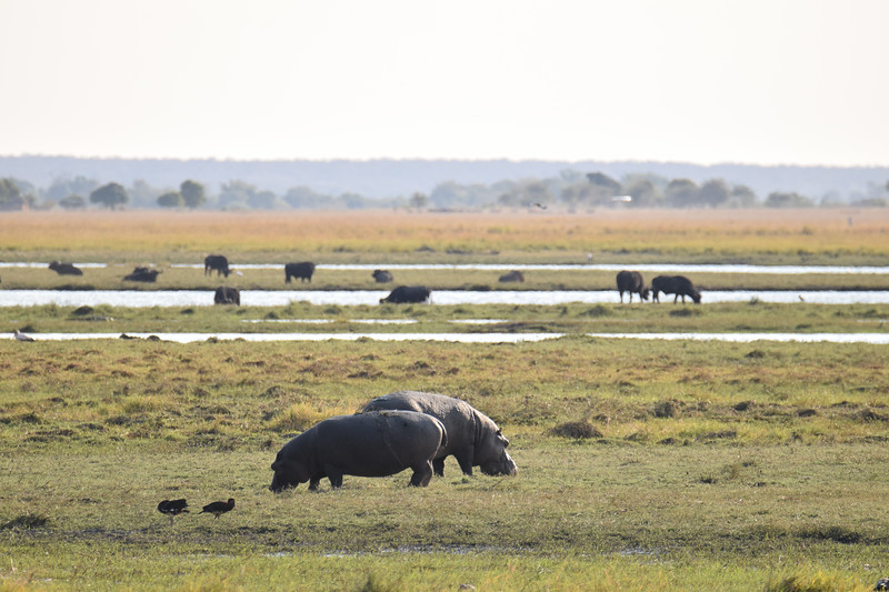 Hippos grazing on Sedudu island