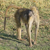 Baboon guarding the family