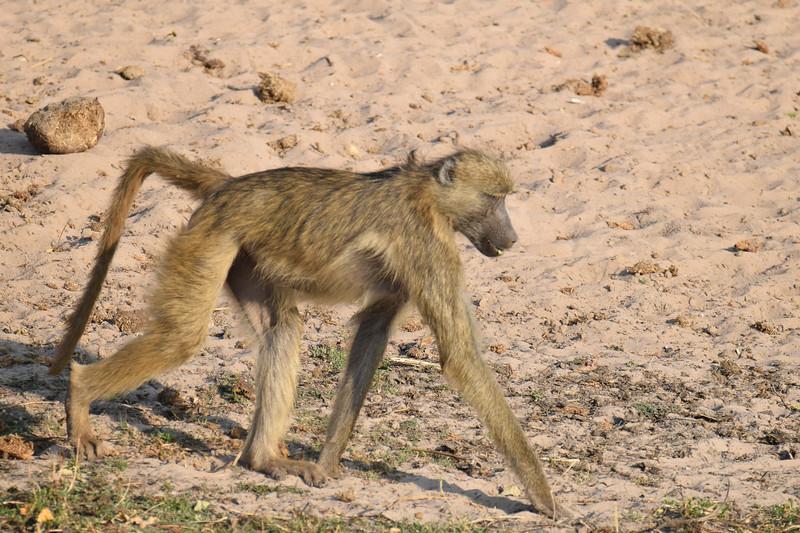 Baboon walking