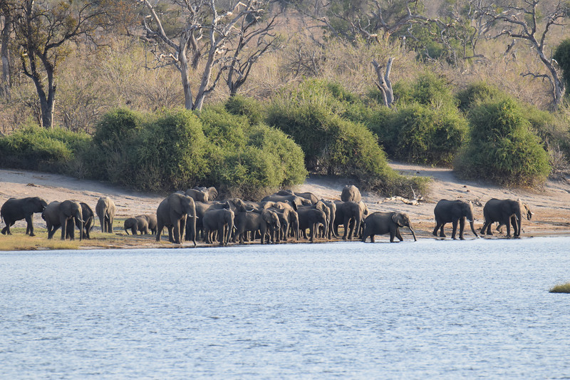 Elephants getting ready for river crossing