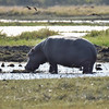 Hippo and birds