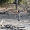 Baboons and impalas on the bank of Chobe river