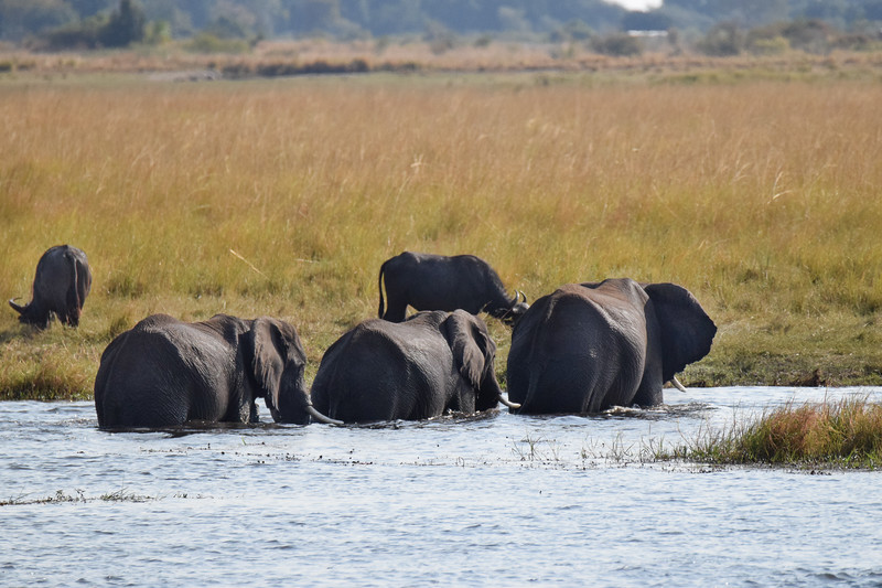 Elephants crossing Chobe River. Botswana.