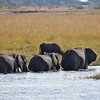 Elephants crossing Chobe River. Botswana.