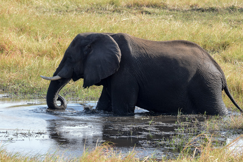 Happy elephant in Chobe river