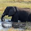 Happy elephant in Chobe river