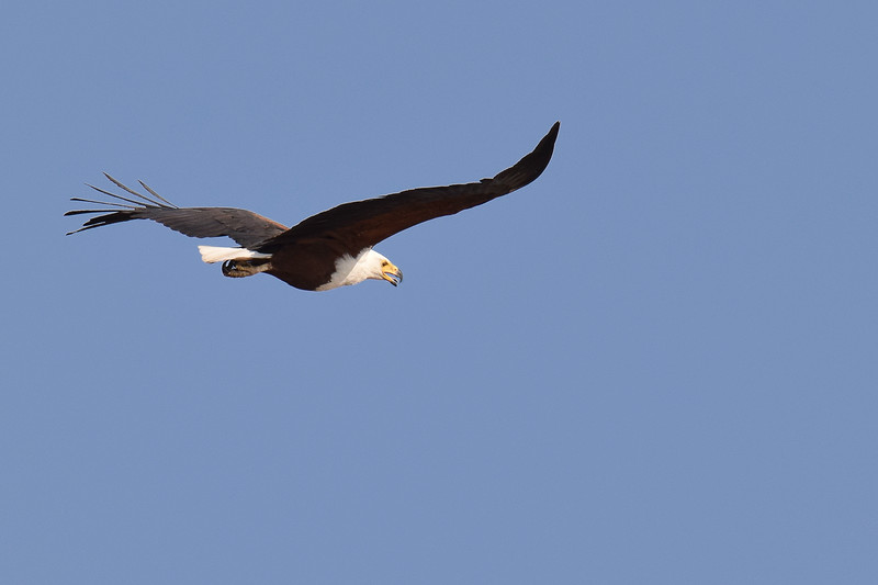 African Fish Eagle over Chobe river