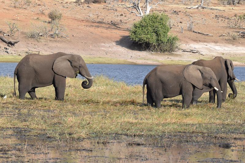 Elephants grazing by the Chobe river