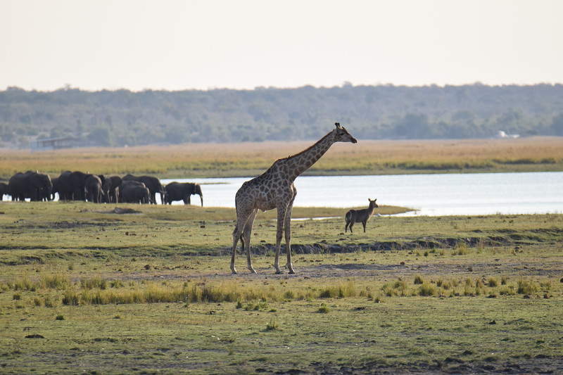 Only in Africa! Chobe National Park.