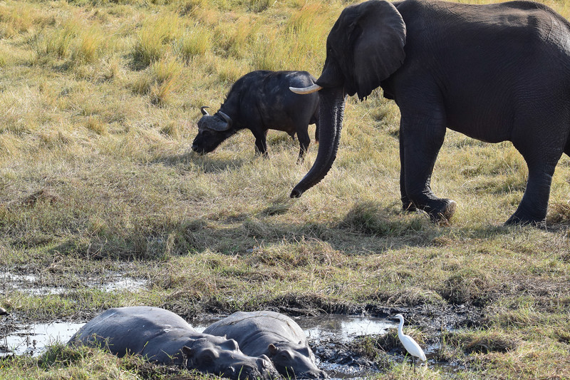 Elephant, Buffalo and Hippos in one shot.