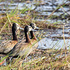 White-face Whistling Duck