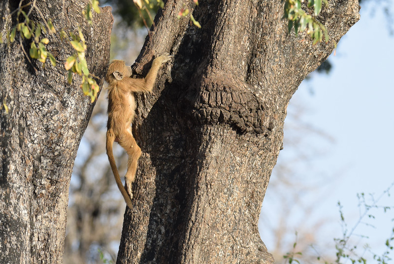 Baby baboon ready to climb