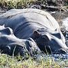 Hippos family nap.